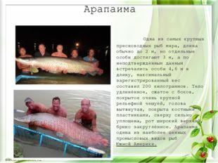 Арапаима Одна из самых крупных пресноводных рыб мира, длина обычно до 2м, но