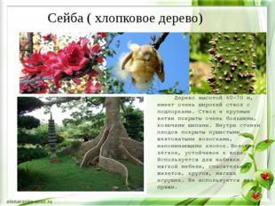 Дерево высотой 60-70 м, имеет очень широкий ствол с подпорками. Ствол и круп