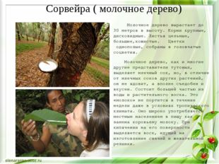 Молочное дерево вырастает до 30 метров в высоту. Корникрупные, дисковидные.