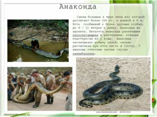 Анаконда Самая большая в мире змея вес которой достигает более 100кг, а длин
