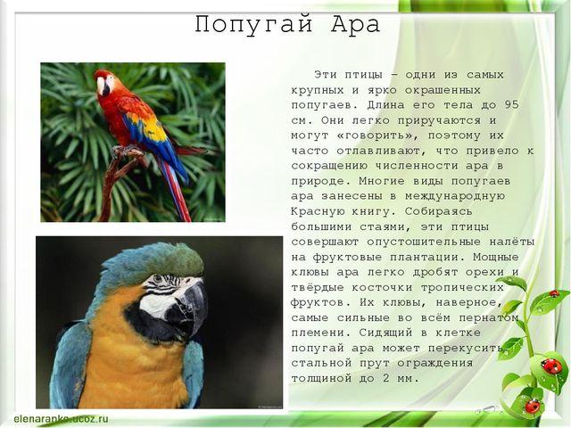 Попугай Ара Эти птицы – одни из самых крупных и ярко окрашенных попугаев. Дли...