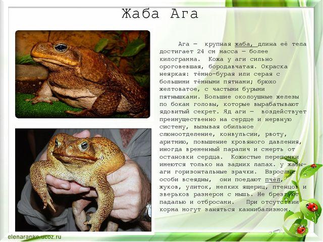 Жаба Ага Ага— крупнаяжаба, длина её тела достигает 24 см масса— более кило...