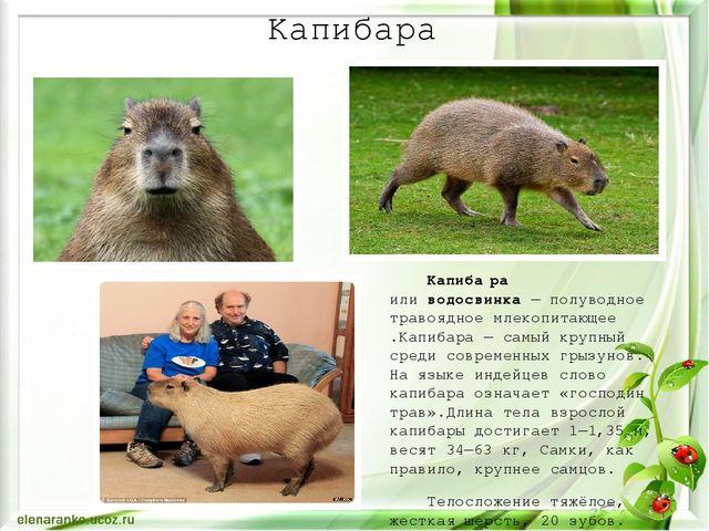 Капибара Капиба́ра иливодосвинка— полуводноетравоядноемлекопитающее.Капиб...