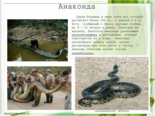 Анаконда Самая большая в мире змея вес которой достигает более 100кг, а длин...