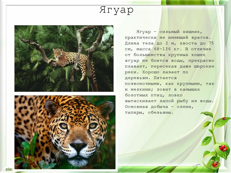 Ягуар Ягуар – сильный хищник, практически не имеющий врагов. Длина тела до 2...