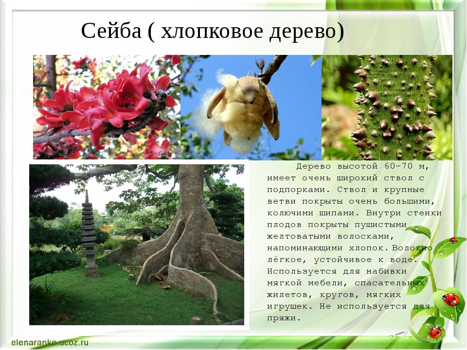 Дерево высотой 60-70 м, имеет очень широкий ствол с подпорками. Ствол и круп...