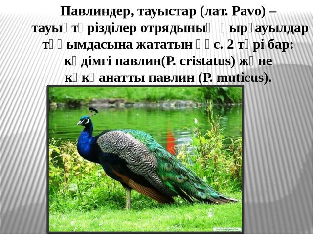 Павлиндер, тауыстар (лат. Pavo) – тауықтәрізділер отрядының қырғауылдар тұқым...