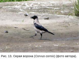 Рис. 13. Серая ворона (Corvus cornix) (фото автора).