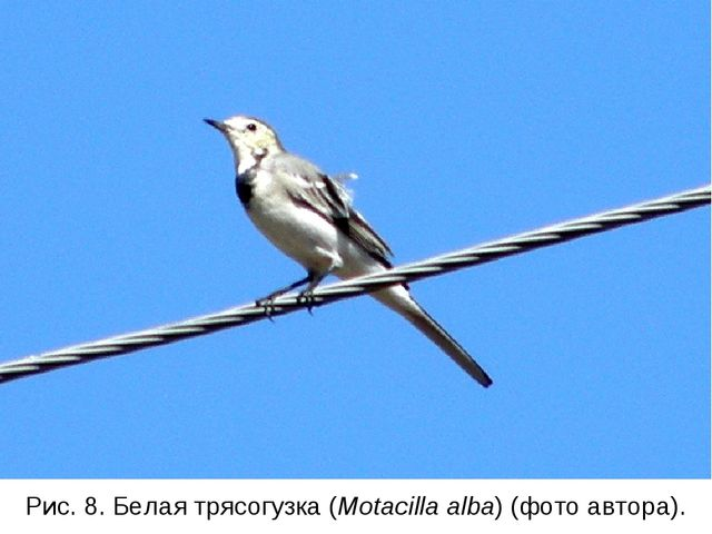 Рис. 8. Белая трясогузка (Motacilla alba) (фото автора).