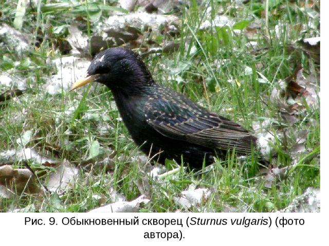 Рис. 9. Обыкновенный скворец (Sturnus vulgaris) (фото автора).