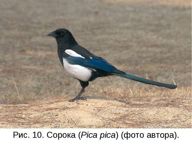 Рис. 10. Сорока (Pica pica) (фото автора).