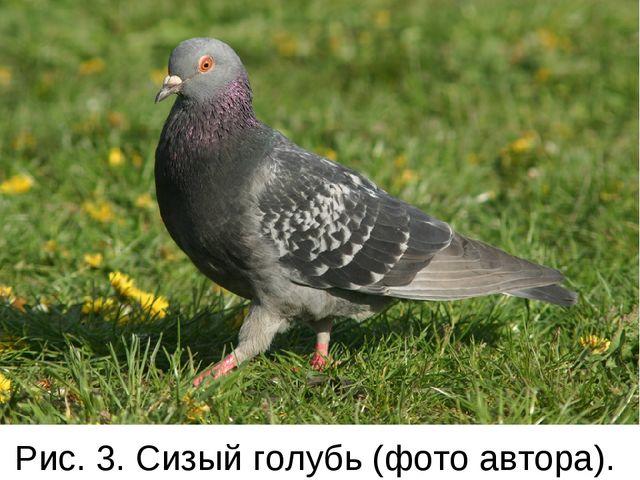 Рис. 3. Сизый голубь (фото автора).