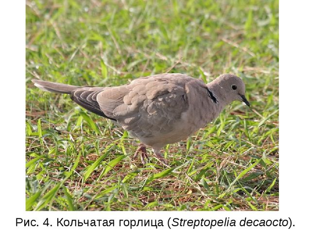 Рис. 4. Кольчатая горлица (Streptopelia decaocto).