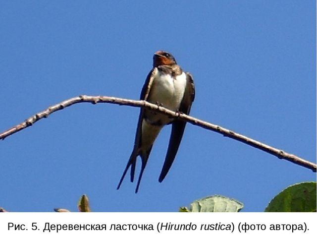 Рис. 5. Деревенская ласточка (Hirundo rustica) (фото автора).