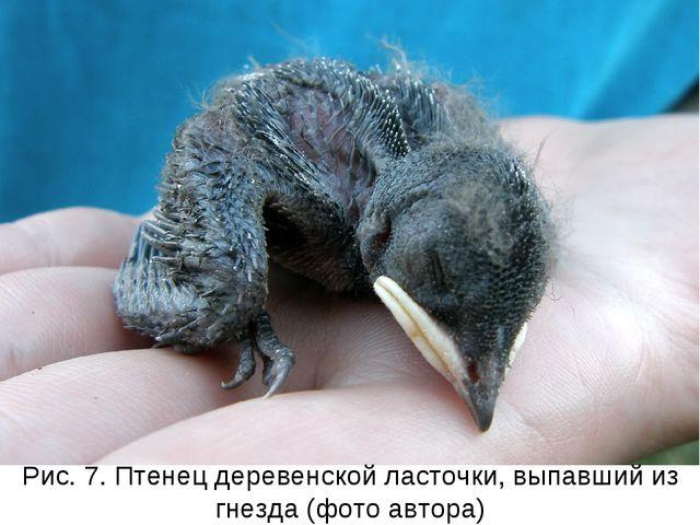 Рис. 7. Птенец деревенской ласточки, выпавший из гнезда (фото автора)