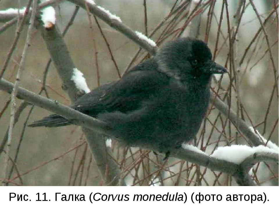Рис. 11. Галка (Corvus monedula) (фото автора).
