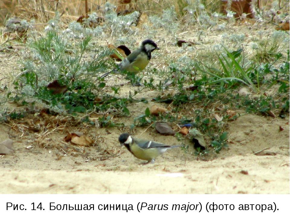 Рис. 14. Большая синица (Parus major) (фото автора).