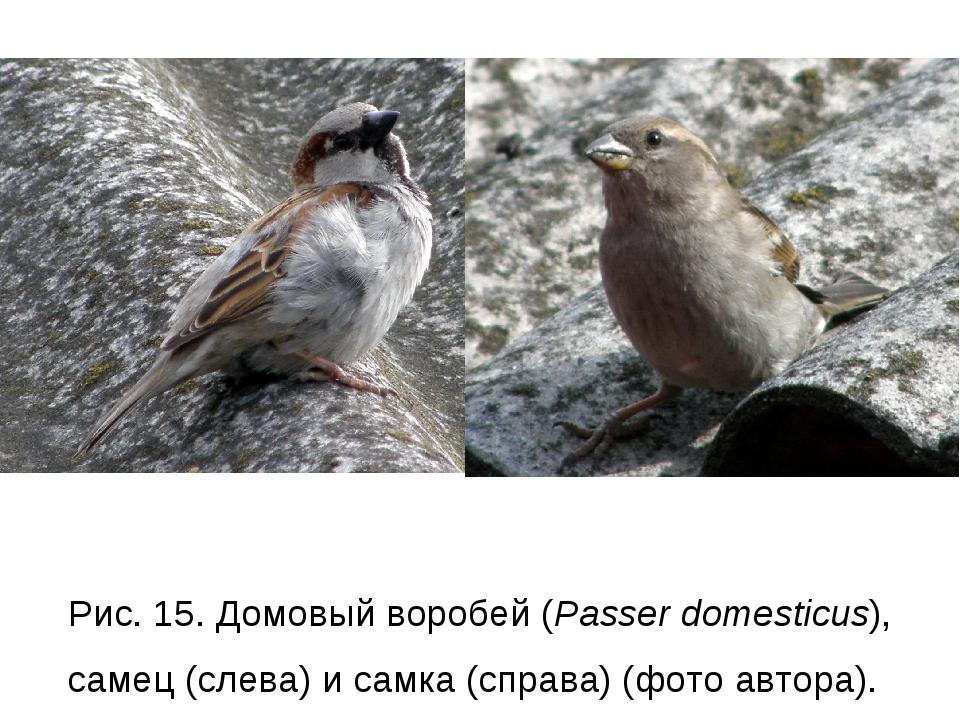 Рис. 15. Домовый воробей (Passer domesticus), самец (слева) и самка (справа)...