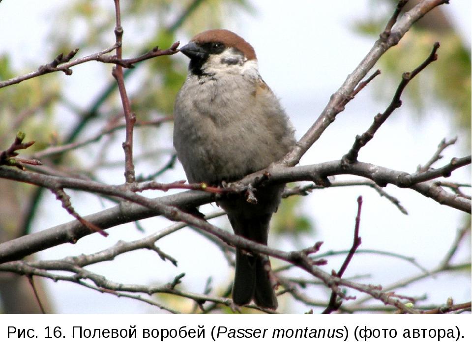 Рис. 16. Полевой воробей (Passer montanus) (фото автора).
