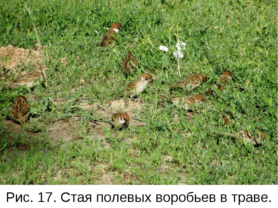 Рис. 17. Стая полевых воробьев в траве.