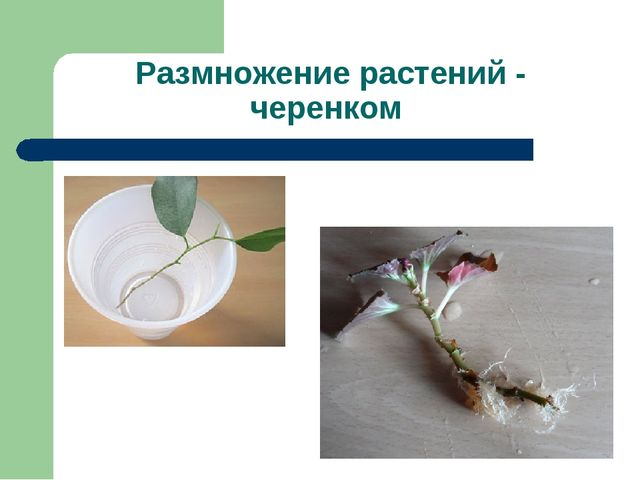 Размножение растений - черенком
