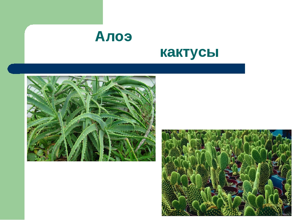 Алоэ кактусы