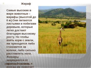Животные саванны Жираф Самые высокие в мире животные – жирафы (высотой до 6 м