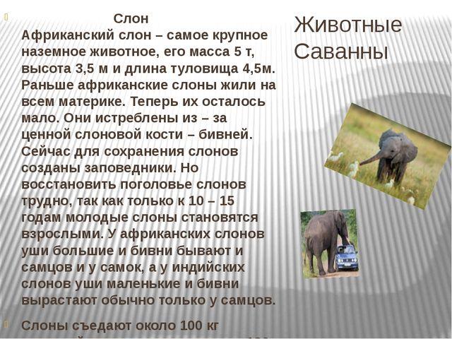 Животные Саванны Слон Африканский слон – самое крупное наземное животное, его...
