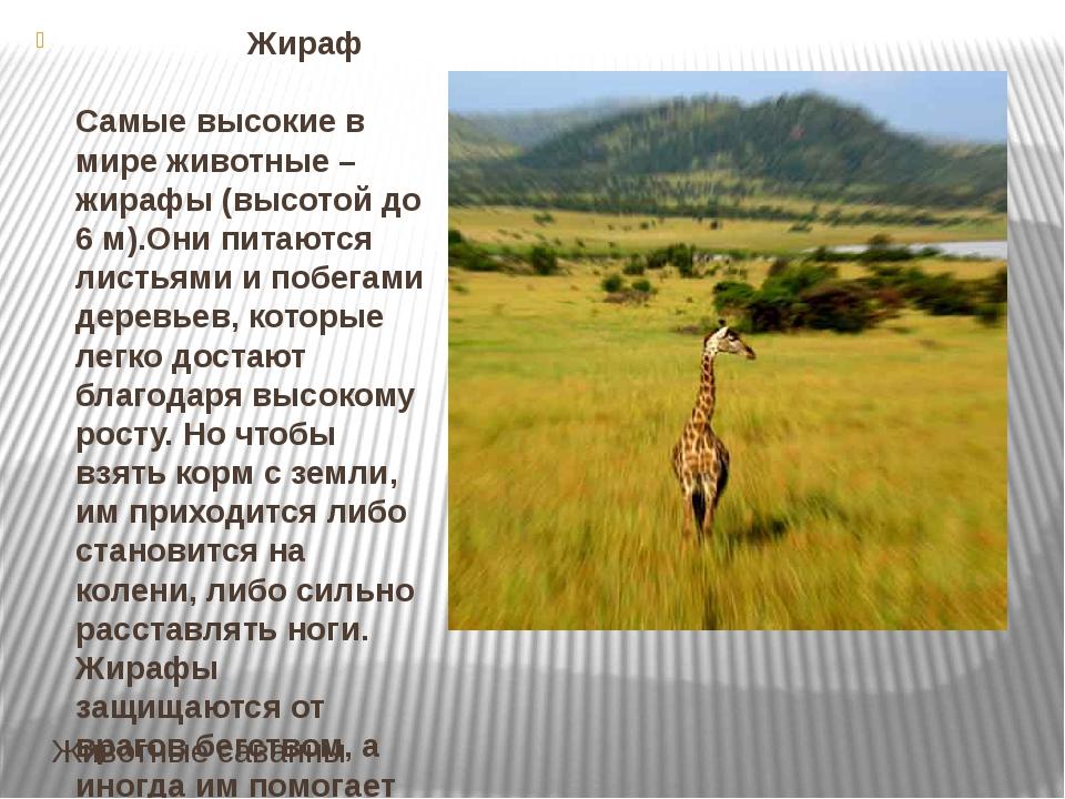 Животные саванны Жираф Самые высокие в мире животные – жирафы (высотой до 6 м...