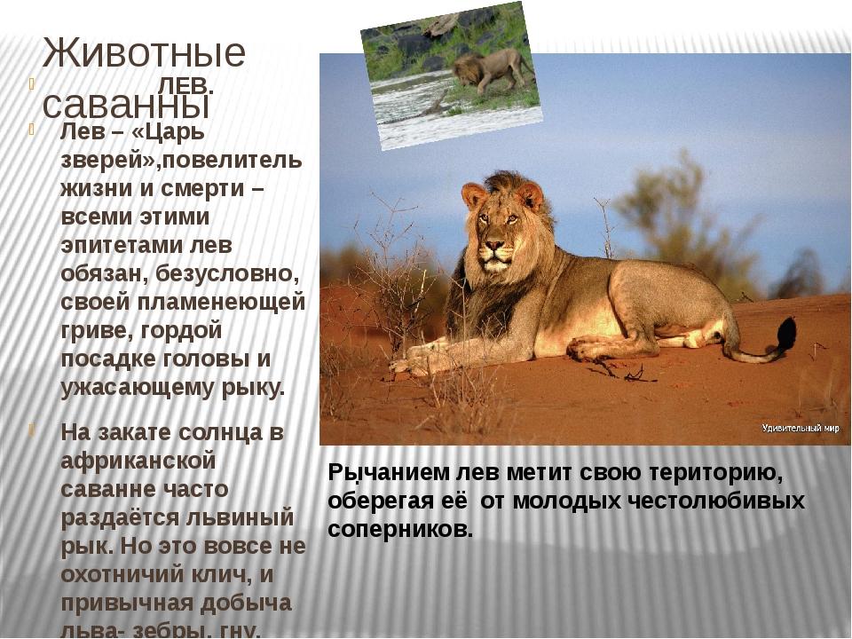 Животные саванны ЛЕВ. Лев – «Царь зверей»,повелитель жизни и смерти – всеми э...