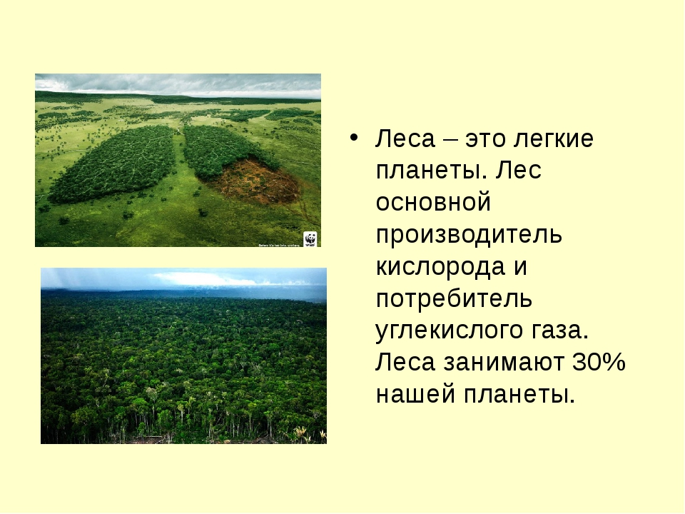 Леса – это легкие планеты. Лес основной производитель кислорода и потребитель...