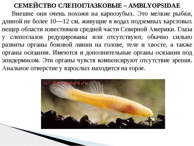 СЕМЕЙСТВО СЛЕПОГЛАЗКОВЫЕ – AMBLYOPSIDAE Внешне они очень похожи на карпозубы...