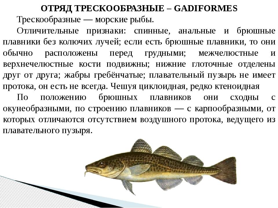 ОТРЯД ТРЕСКООБРАЗНЫЕ – GADIFORMES Трескообразные — морские рыбы. Отличитель...