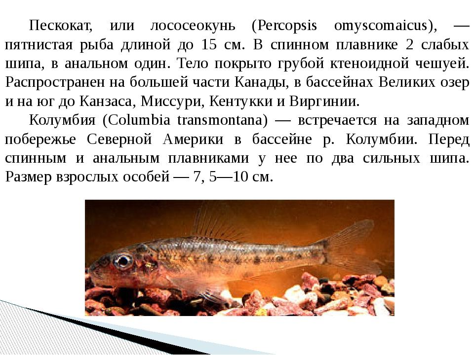 Пескокат, или лососеокунь (Percopsis omyscomaicus), — пятнистая рыба длиной...