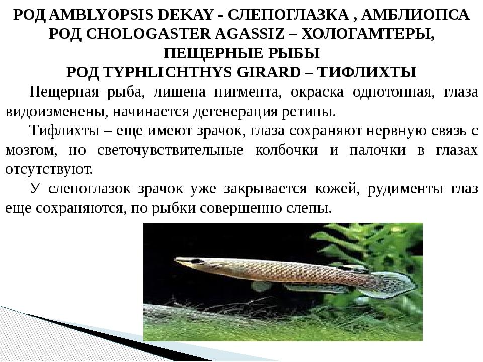 РОД AMBLYOPSIS DEKAY - СЛЕПОГЛАЗКА , АМБЛИОПСА РОД CHOLOGASTER AGASSIZ – ХОЛО...