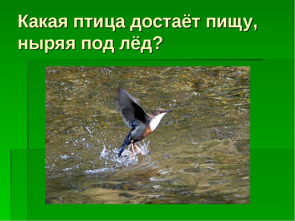 Какая птица достаёт пищу, ныряя под лёд?