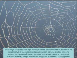 Шелк паук вырабатывает при помощи желез, расположенных в животе. На конце жел