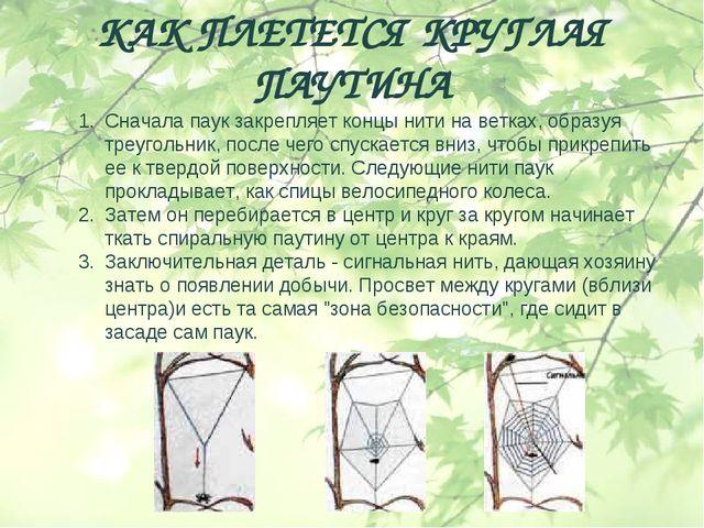КАК ПЛЕТЕТСЯ КРУГЛАЯ ПАУТИНА Сначала паук закрепляет концы нити на ветках, об...