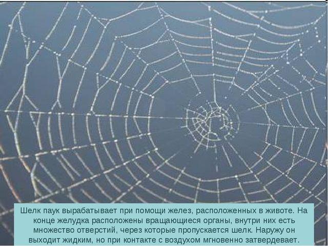 Шелк паук вырабатывает при помощи желез, расположенных в животе. На конце жел...