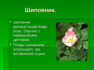 Шиповник. Шиповник. Дикорастущие виды розы. Обычно с немахровыми цветками. П