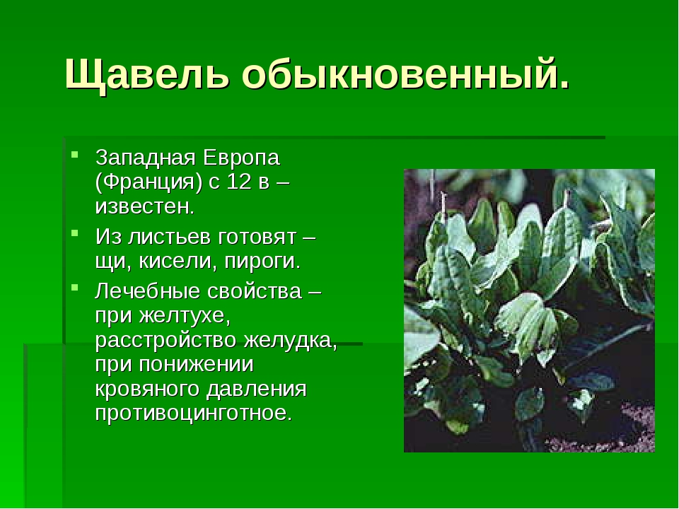 Щавель обыкновенный. Западная Европа (Франция) с 12 в – известен. Из листьев...