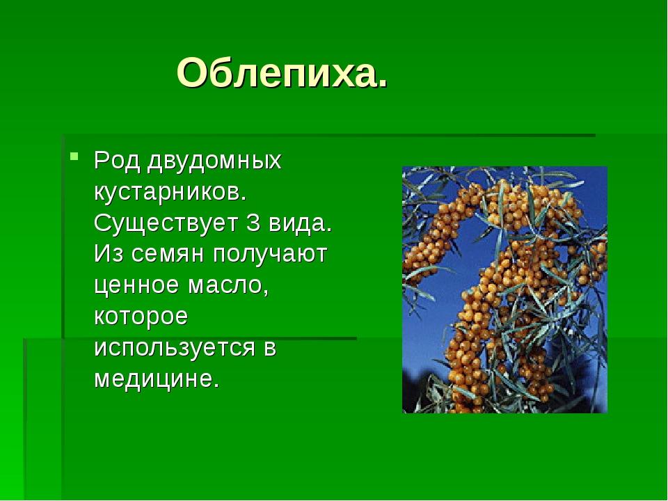 Облепиха. Род двудомных кустарников. Существует 3 вида. Из семян получают це...