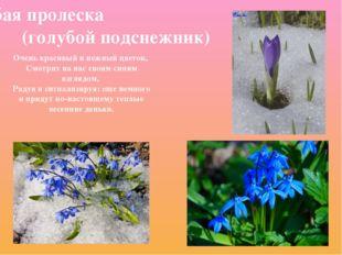 Голубая пролеска (голубой подснежник) Очень красивый и нежный цветок, Смотрит