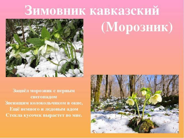 Зимовник кавказский (Морозник) Зацвёл морозник с первым снегопадом Звенящим к...