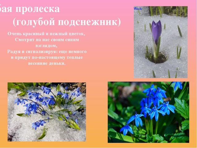 Голубая пролеска (голубой подснежник) Очень красивый и нежный цветок, Смотрит...