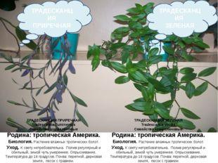 ТРАДЕСКАНЦИЯ ЗЕЛЕНАЯ Tradescantia viridis Семейство коммелиновые Родина: троп
