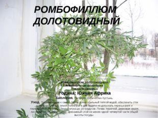 РОМБОФИЛЛЮМ ДОЛОТОВИДНЫЙ РОМБОФИЛЛЮМ ДОЛОТОВИДНЫЙ Rhombophyllum dolabriforme