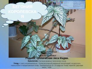 БЕГОНИЯ КОРОЛЕВСКАЯ Begonia Rex Семейство бегониевые Родина: тропические леса