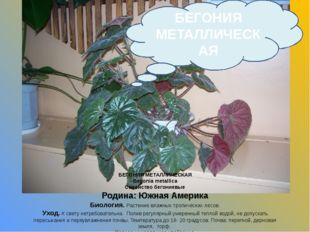 БЕГОНИЯ МЕТАЛЛИЧЕСКАЯ Begonia metallica Семейство бегониевые Родина: Южная Ам