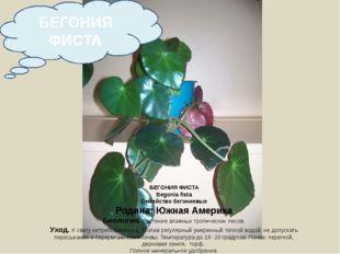 БЕГОНИЯ ФИСТА Begonia fista Семейство бегониевые Родина: Южная Америка Биолог